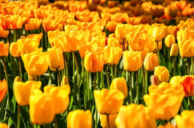 Blomstertåget Holland 2020